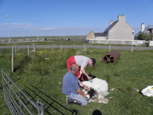 Alec Finlayson, 6 Brue and Coinneach Murray, 42 South Bragar, shearing a Blackface ram at 20 Brue