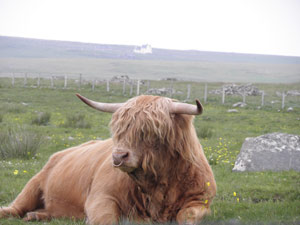 Highland Bull on Croft No1 Brue