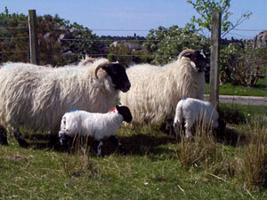 Blackface ewes with lambs - Brue