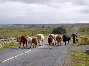 Brue cattle walking to the local Show – July 2005